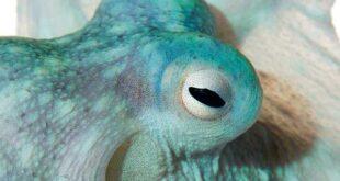 Осьминог – гений океана